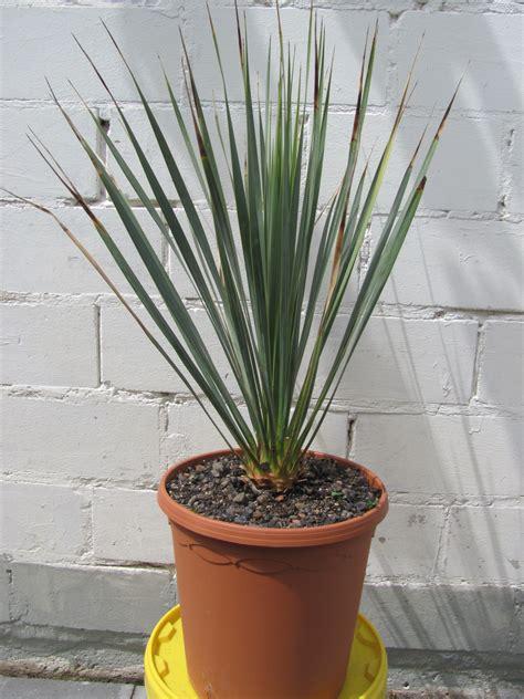übertöpfe Für Zimmerpflanzen by Www Ecopalms De Yucca Rostrata