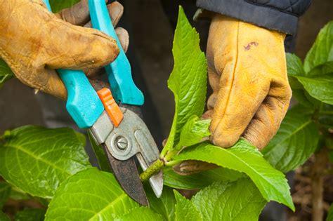 hortensien im herbst schneiden  machen sies richtig