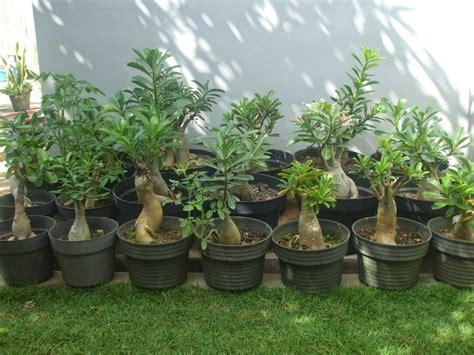 jenis tanaman hias rumah minimalis cocok rumah