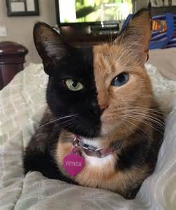 venus the two faced cat this is venus the most amazing cat in the world