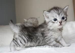siberian cats siberian cat kitten 171 nat geo adventure