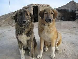 Pin Afghan Kuchi Dog For Sale In Karachi 9427 Mypetspk on ...
