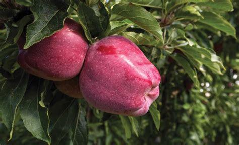 Smaller apple crop raises hopes | Good Fruit Grower