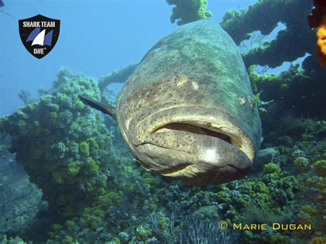 goliath grouper shark florida groupers eat calico crab dugan marie team waters needs still help mission prey volunteer opening main