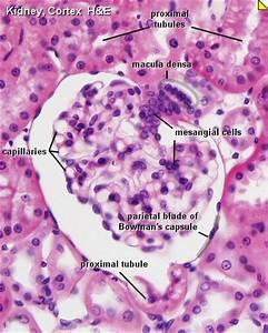 File:Nephron histology 01.jpg - Embryology