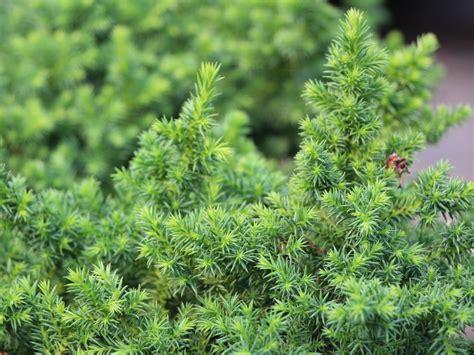 Japanischer Garten Nadelbaum by Japanische Sicheltanne Vilmoriniana Cryptomeria