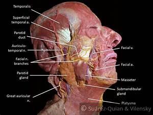 The Facial Nerve  Cn Vii  - Course