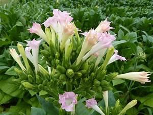 Flowers of the Tobacco (Nicotiana tabacum) | Nicotiana ...