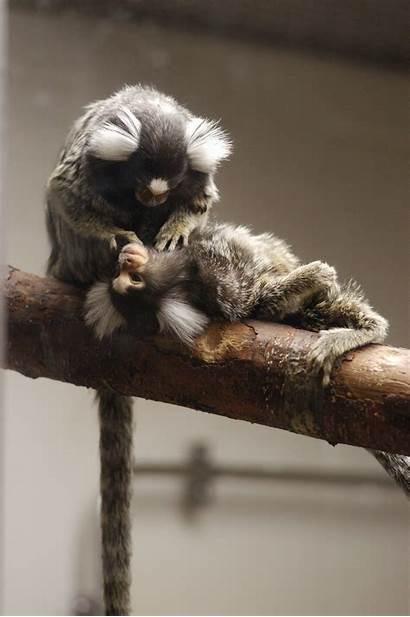 Marmoset Monkey Monkeys Grooming Marmosets Groom Wisc