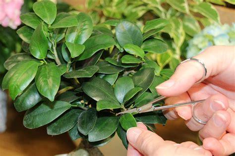 Ficus Pflanze Pflege by Ficus Ginseng Als Bonsai Pflege Und Schneiden