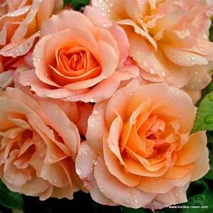 Begleitpflanzen Für Rosen : aprikola gr ber verwendung kordes rosen ~ Orissabook.com Haus und Dekorationen