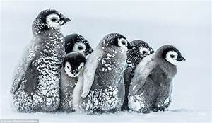 Baby penguins in Antarctica cuddle up together to survive ...