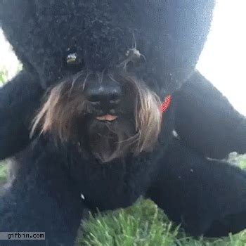 dog dressed  teddy bear eats treats  funny gifs