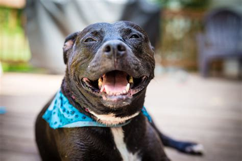 What Pit Bull Owners Need to Know About Finding Home Insurance