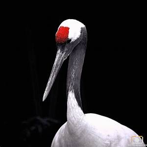 Red Crowned Crane - A&A Photographic Arts