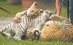 White Liger Cubs | www.pixshark.com - Images Galleries ...