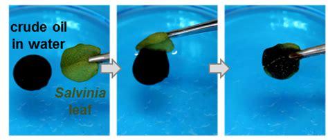 Scientists Explore Oil Clean Up Properties Of Aquatic Ferns
