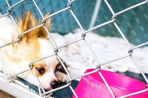 dog chihuahua cage chihuahuas shelters many there euthanized why pleading closeup breed most abandoned second close sad domestic abuse via