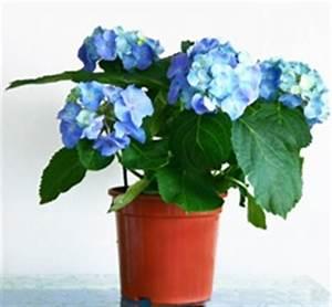 Hortensie Als Zimmerpflanze : hortensie pflege standortwahl und details ~ Lizthompson.info Haus und Dekorationen