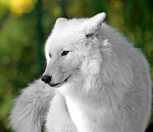 Beautiful White Wolf with Blue Eyes! | Love Wolves ...