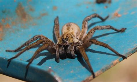 are wolf spiders dangerous are wolf spider bites poisonous url http wolfspider org arachnophobia pinterest
