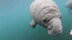 Curious Baby Manatee - YouTube