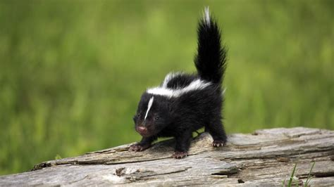 Can Baby Skunks Spray Referencecom