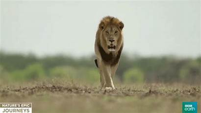 Lion Bbc Africa Earth Male Nature Giphy