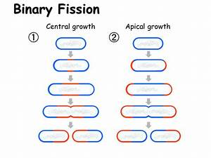 Cell Reproduction  Mitosis And Binary Fission