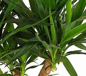 Yucca Palme Garten : yucca palme verzweigt dehner garten center ~ Lizthompson.info Haus und Dekorationen