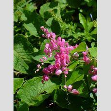 Pink Rose Of Montana, Coral Vine, Pink Coral Vine