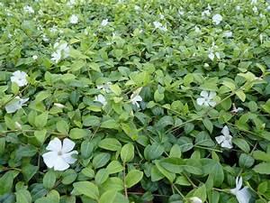 Rankpflanzen Winterhart Immergrün : bodendecker archive pflanzenversand24 ~ A.2002-acura-tl-radio.info Haus und Dekorationen