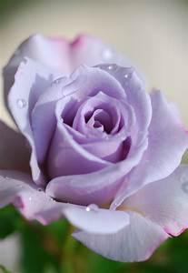 File:Rose in Violet.jpg