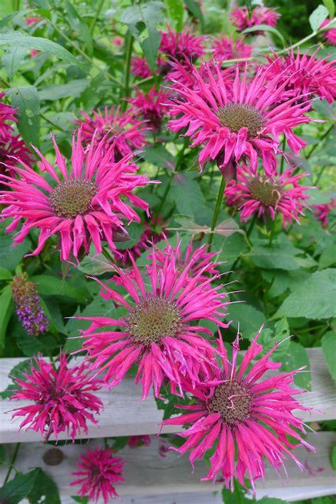 perennial plants mail order htonsgarden blog