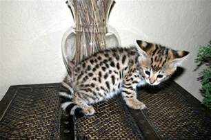 savanna cat cats wallpapers animals wiki