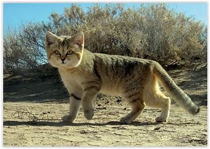 Deserto Gatto Magnifica Specie Estinzione Via Avvia