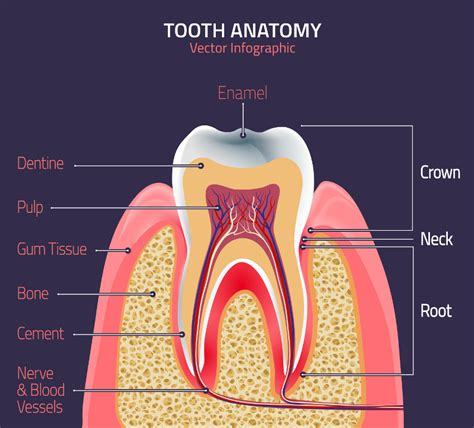 Dallas Dentist  Parts Of The Tooth  Lynn Dental Care