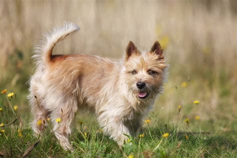 cairn terrier non shedding most popular hypoallergenic non shedding breeds