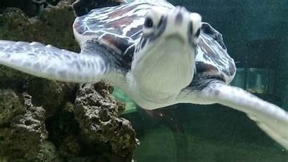 Turtle Sea Swimming Close