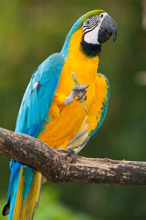 Fabulous Information About the Military Macaw