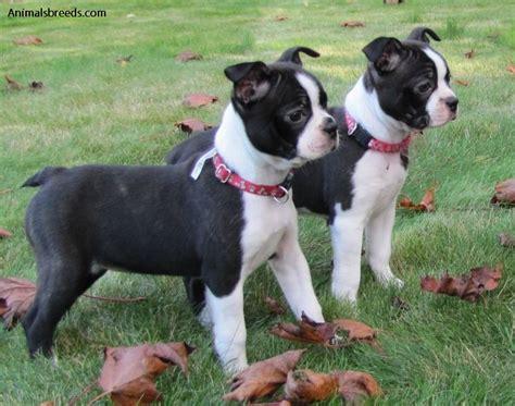 Boston Terrier Pictures Information Temperament