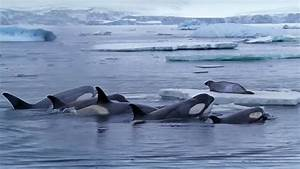 Killer Whales Working Together to Hunt Seals on Ice | BBC ...