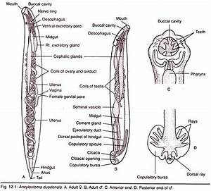 Structure Of Adult Hookworm  With Diagram
