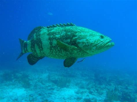 fish grouper ugly ocean florida freshwater compared keys largo why key goliath hd cool depressing coral cave mean kind much