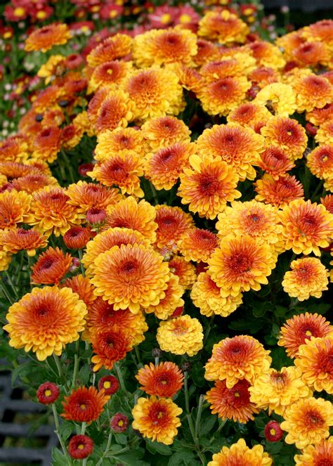 Shop now for colorful fall-blooming mums | Mississippi ...
