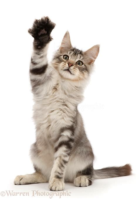 silver tabby kitten  raised paw waving photo wp