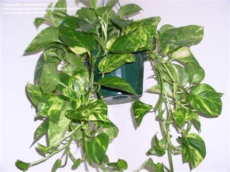 vine type plants dolce vita house plant memories
