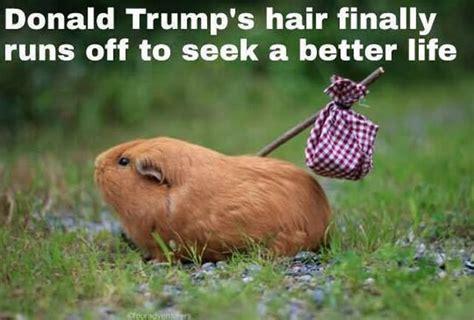 Donald Trump Hair Memes - 40 most funny donald trump memes that will make you laugh