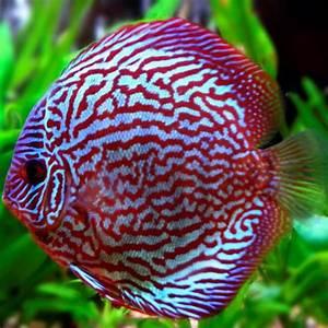 Poisson Aquarium Eau Chaude : poisson discus aquarium eau de poisson cosmopublic ~ Mglfilm.com Idées de Décoration
