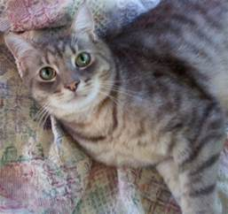 gray tabby cat cat finders 187 archive 187 lost gray tabby cat